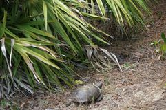 Tortuga de Gopher en hábitat Foto de archivo
