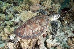 Tortuga de Hawksbill Foto de archivo libre de regalías