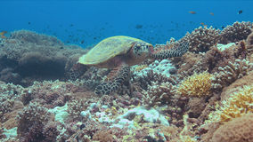 Tortuga de Hawksbill en un arrecife de coral Foto de archivo libre de regalías