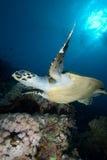Tortuga de Hawksbill (imbricata del eretmochelys) Fotografía de archivo libre de regalías