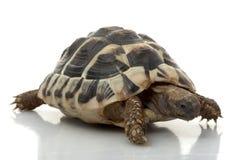 Tortuga de Herman?s Foto de archivo libre de regalías