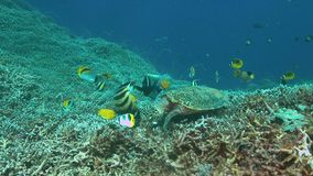 tortuga de 4k Hawksbill en un arrecife de coral mientras que come metrajes