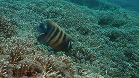 tortuga de 4k Hawksbill en un arrecife de coral mientras que come almacen de video