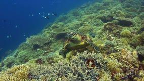 tortuga de 4k Hawksbill en un arrecife de coral almacen de metraje de vídeo