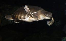 tortuga de la Cerdo-nariz Imagen de archivo