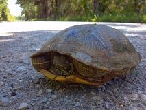Tortuga de la tortuga foto de archivo libre de regalías