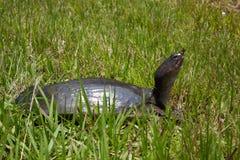Tortuga de la Florida Softshell Foto de archivo