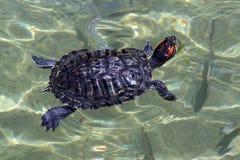 Tortuga de la natación foto de archivo libre de regalías