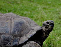 Tortuga de las Islas Gal3apagos Imagen de archivo