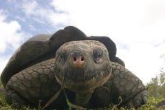 Tortuga de las Islas Gal3apagos imagenes de archivo