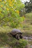 Tortuga de las Islas Gal3apagos foto de archivo libre de regalías