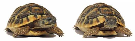 Tortuga de las tortugas Imagen de archivo
