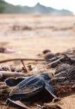 Tortuga de leatherback del bebé Fotos de archivo libres de regalías