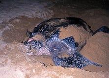 Tortuga de Leatherback, Trinidad y Tobago. Fotos de archivo