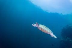 Tortuga de mar Imagenes de archivo