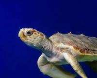 Tortuga de mar 2 Fotografía de archivo