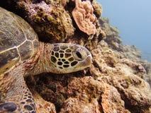 Tortuga de mar Fotografía de archivo
