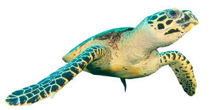 Tortuga de mar aislada fotografía de archivo libre de regalías