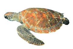 Tortuga de mar aislada Imagen de archivo libre de regalías