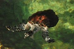 Tortuga de mar de Carey Fotografía de archivo