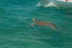 Tortuga de mar con el caparazón marrón en la biosfera de Sian Ka ' fotografía de archivo libre de regalías