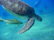 Tortuga de mar contra zambullidores, Mar Rojo, Egipto Foto de archivo libre de regalías