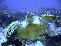 Tortuga de mar curiosa del hawksbill (en peligro) Foto de archivo