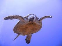 Tortuga de mar curiosa del hawksbill (en peligro) Imagen de archivo libre de regalías