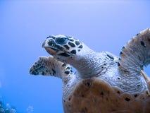 Tortuga de mar curiosa del hawksbill (en peligro) Fotografía de archivo libre de regalías