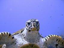 Tortuga de mar curiosa del hawksbill (en peligro) Fotos de archivo