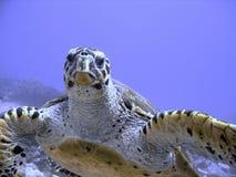 Tortuga de mar curiosa del hawksbill (en peligro) Imagen de archivo