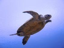 Tortuga de mar curiosa del hawksbill (en peligro) Imagenes de archivo