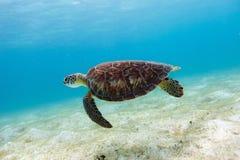 Tortuga de mar de Hawksbill Imagenes de archivo