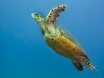 Tortuga de mar de Hawksbill que nada bajo el agua imagen de archivo