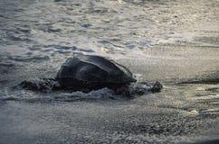Tortuga de mar de Letherback que entra el océano Fotos de archivo