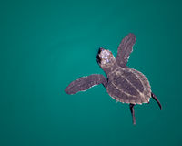 Tortuga de mar del bebé en el océano Foto de archivo libre de regalías