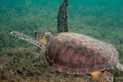 Tortuga de mar del cerezo silvestre en un filón en la Florida del sur fotos de archivo
