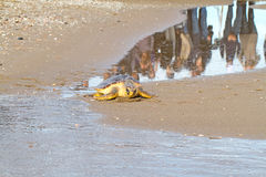 Tortuga de mar del necio (caretta del Caretta) Imagenes de archivo