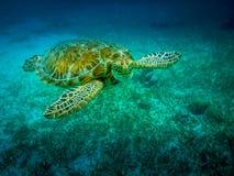 Tortuga de mar en el mar del Caribe - calafate de Caye, Belice imagen de archivo