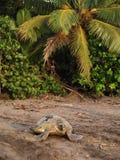 Tortuga de mar en el parque nacional de Tortuguero, Costa Rica Imagen de archivo libre de regalías