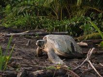 Tortuga de mar en el parque nacional de Tortuguero, Costa Rica Foto de archivo libre de regalías