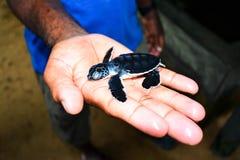 Tortuga de mar en el proyecto de la protección de la tortuga de mar de Kosgoda Imagenes de archivo