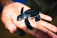 Tortuga de mar en el proyecto de la protección de la tortuga de mar de Kosgoda Fotografía de archivo libre de regalías