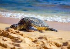 Tortuga de mar en la playa de Kauai Imágenes de archivo libres de regalías