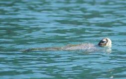 Tortuga de mar gigante foto de archivo