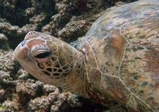 Tortuga de mar, gran filón de barrera Foto de archivo
