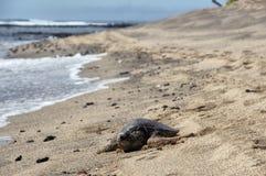Tortuga de mar hawaiana en la playa Fotografía de archivo