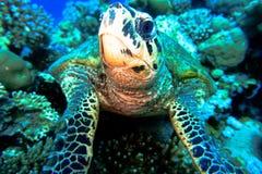 Tortuga de mar de Hawknose Foto de archivo