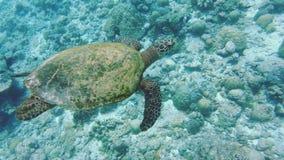 Tortuga de mar joven de Hawksbill metrajes
