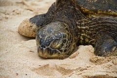 Tortuga de mar que descansa sobre la playa fotografía de archivo